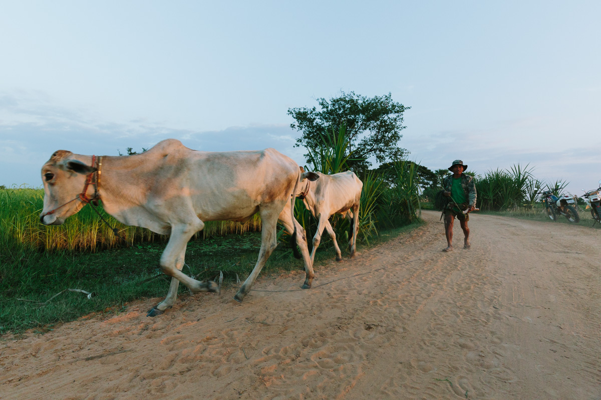 Live stock in Cambodian countryside