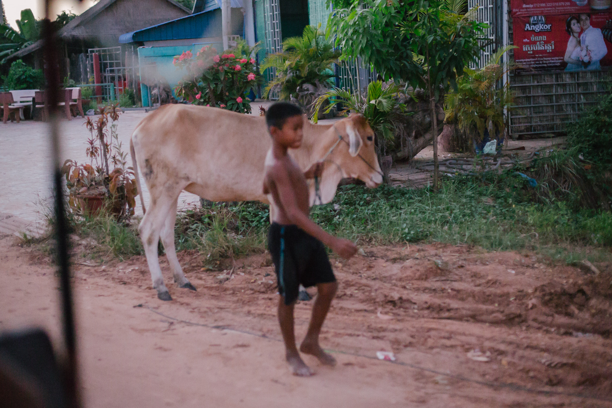 Boy leading cow