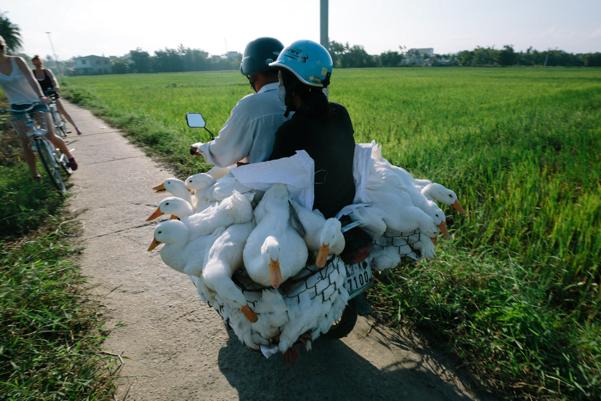 Farmer carries carries his ducks to market on his motorbike along a small path in the countryside - Hoi An, Vietnam