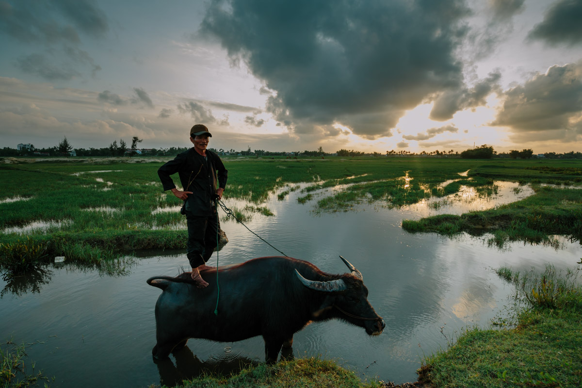 Local standing on a water buffalo in Hoi An, Vietnam