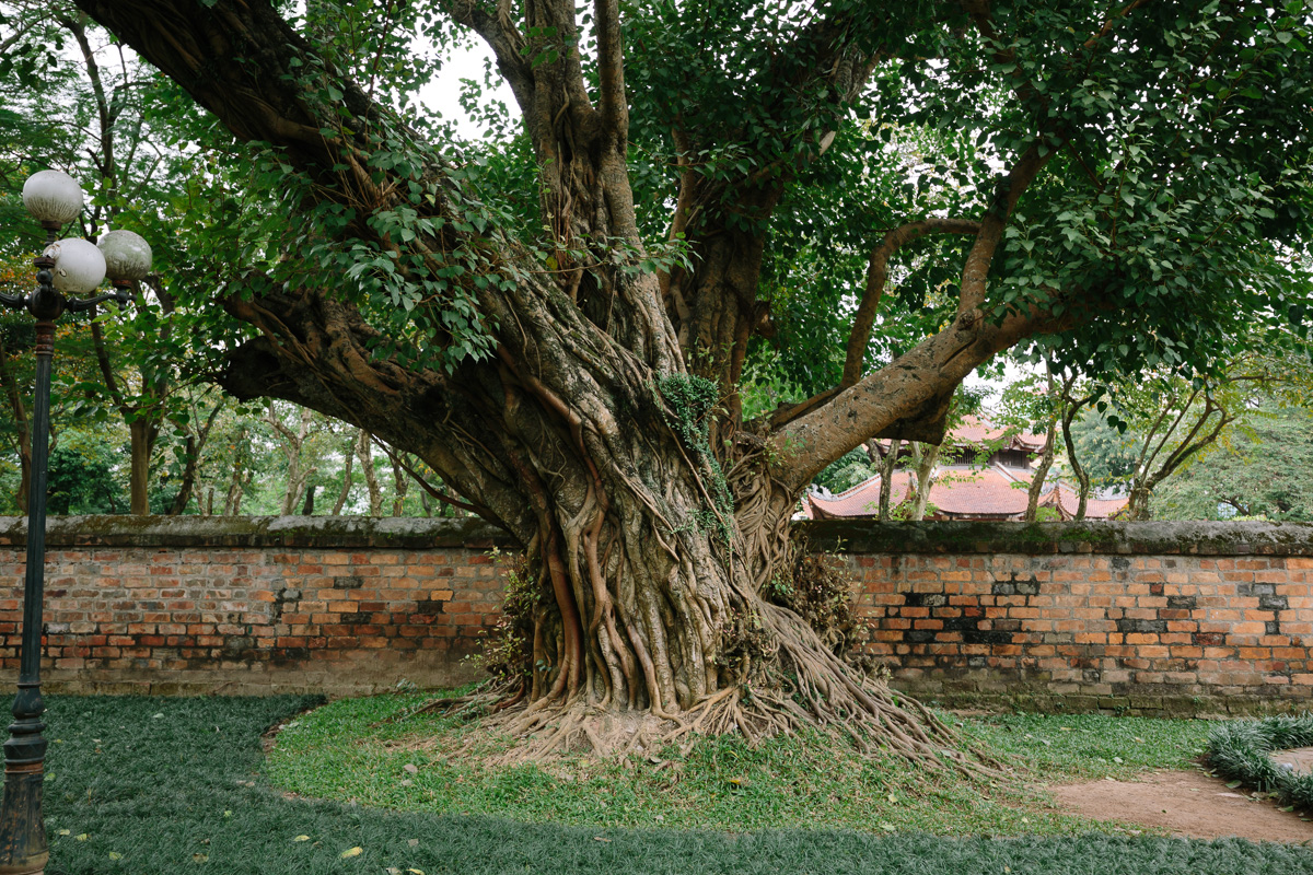 The complex structure of this tree caught my eye in the Temple of Literature Gardens