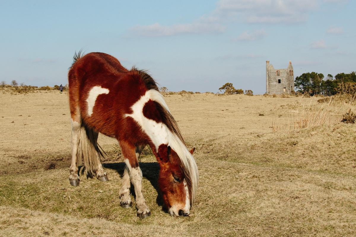 Wild horse on Bodmin Moor