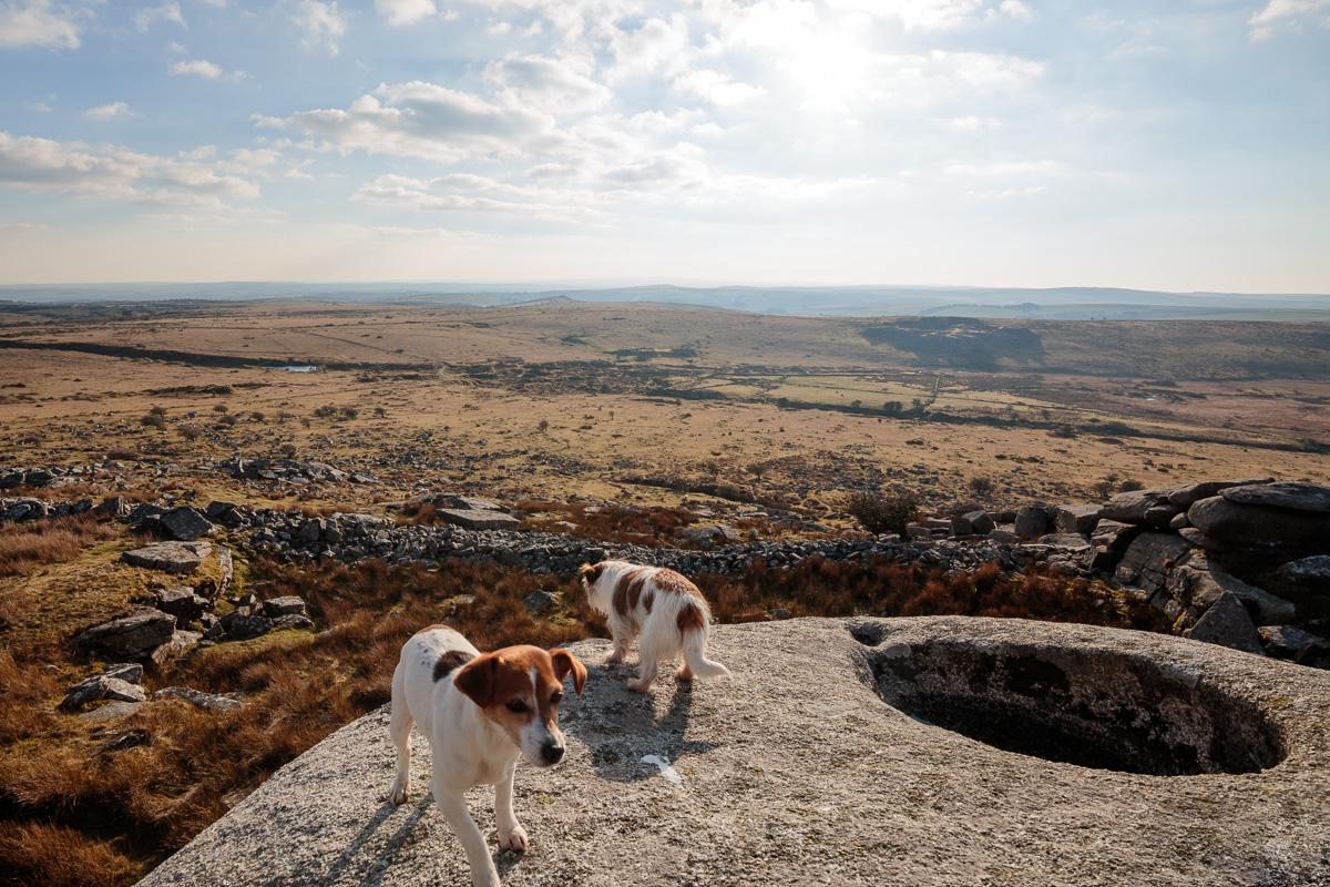 Jack Russels look down onto Bodmin Moor