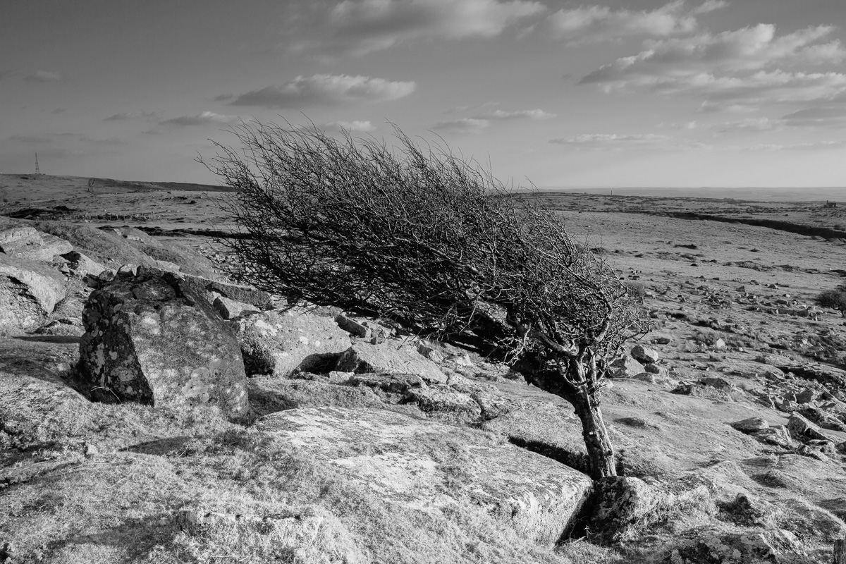 Wind blown tree, Bodmin Moor