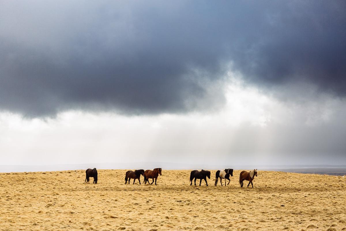 A drove of Icelandanic horses