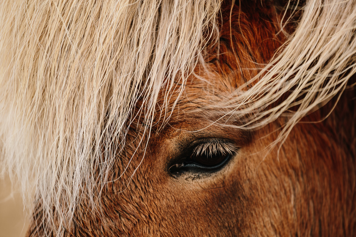 Closeup of an Icelandic horse's eye