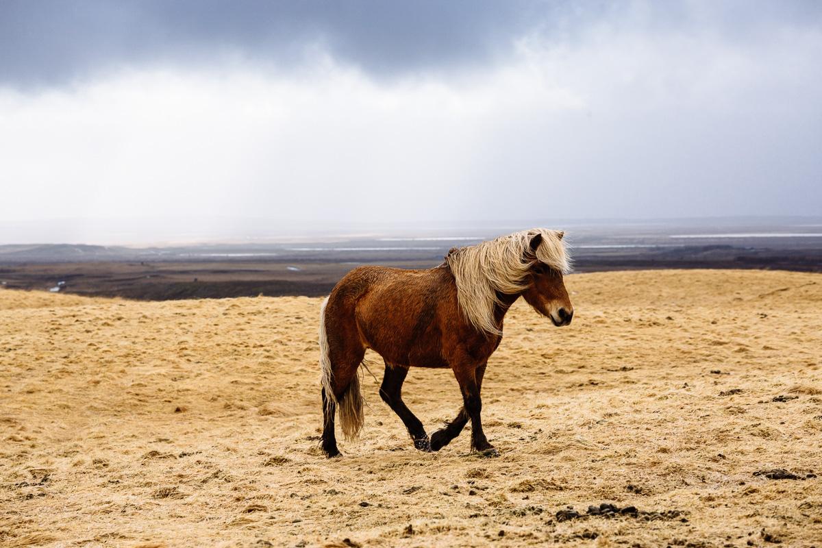 Icelandic horse trots