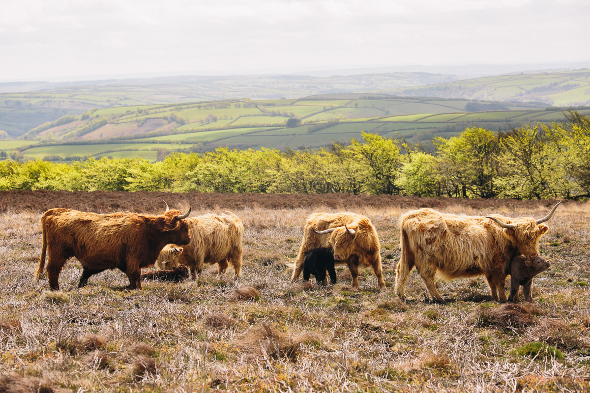 Exmoor Highland Cattle