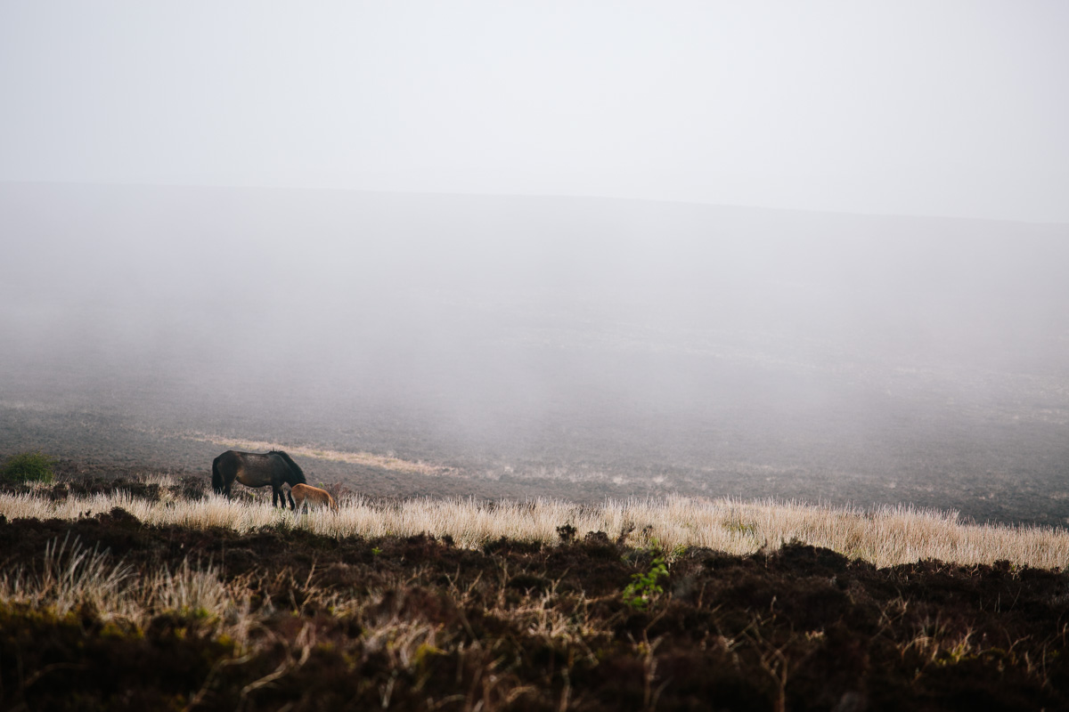 Mother and foal from afar on the moor