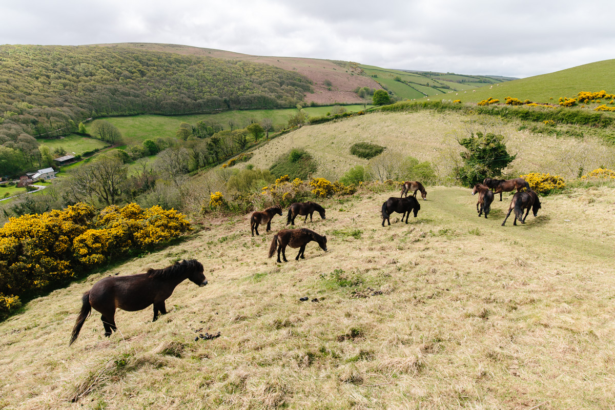 Exmoor Ponies on the decent to Horner water